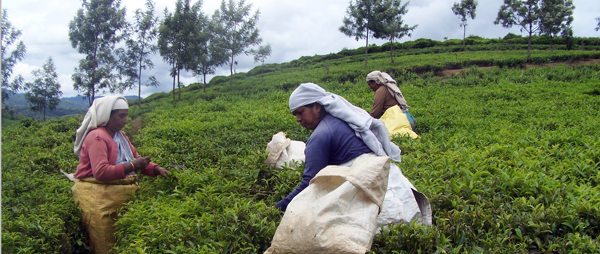 Women picking tea in Indias teagardens